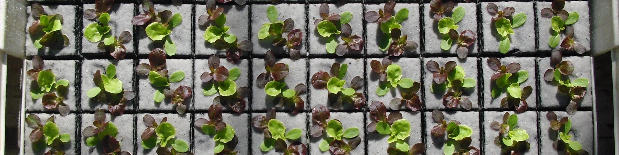 Trio/planten in 6cm losse pot + phytodropbehandeling.