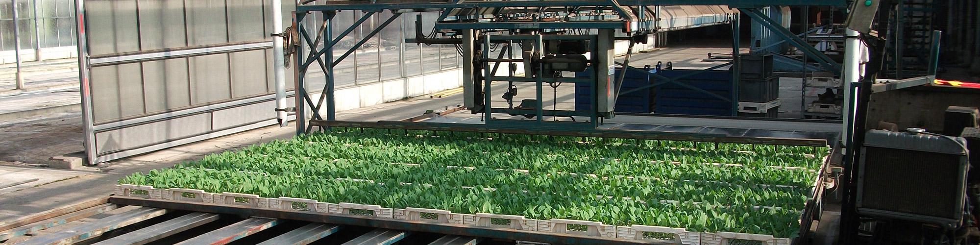 Bloemkoolplanten in 4cm perspot opstapelen,