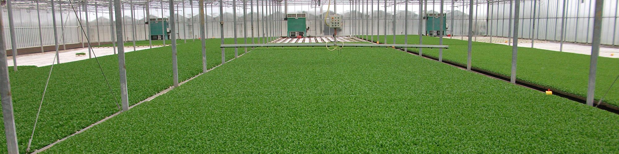 Knolselderplanten in 216/33cc tray & 260/27cc tray.