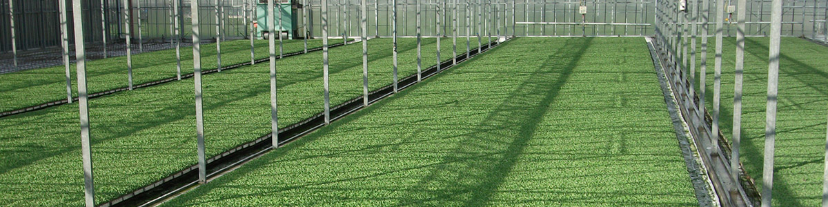 Spruitkoolplanten SuperSeedling 330tray in serre 11.